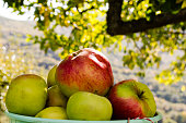 Apples in bucket under the apple tree, during harvest, in early autumn with unfocused background.