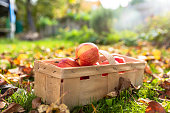 Apples in garden