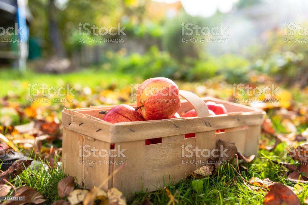 Apples in garden stock photo