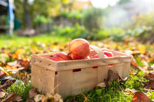 äpfel im garten - pflücken stock-fotos und bilder