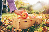 Apples at Harvest -  Apples in basket in garden