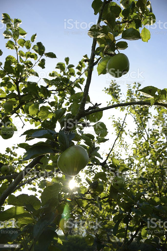 Apples in morning sunshine royalty-free stock photo