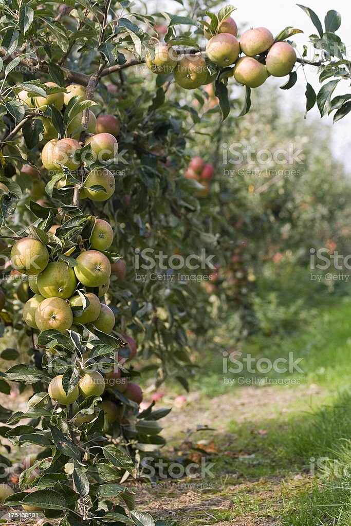 Apples in Orchard 1 royalty-free stock photo