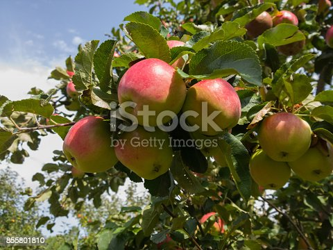 612242240 istock photo Apples in the garden. 855801810