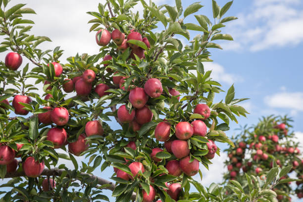 Apples in the Hudson Valley, NY