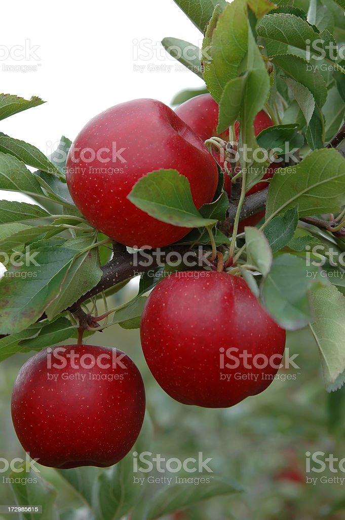 Apples in the orchard - I royalty-free stock photo