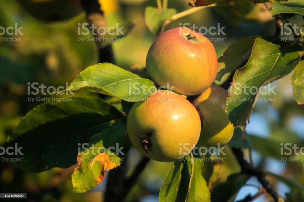 Äpfel im Obstgarten – Foto