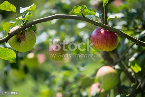 878725126 istock photo Apples in the orchard 671663860