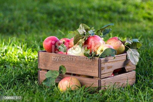 Freshly pickled ripe organic apples in dark wooden crate on green grass, outside in garden, nobody