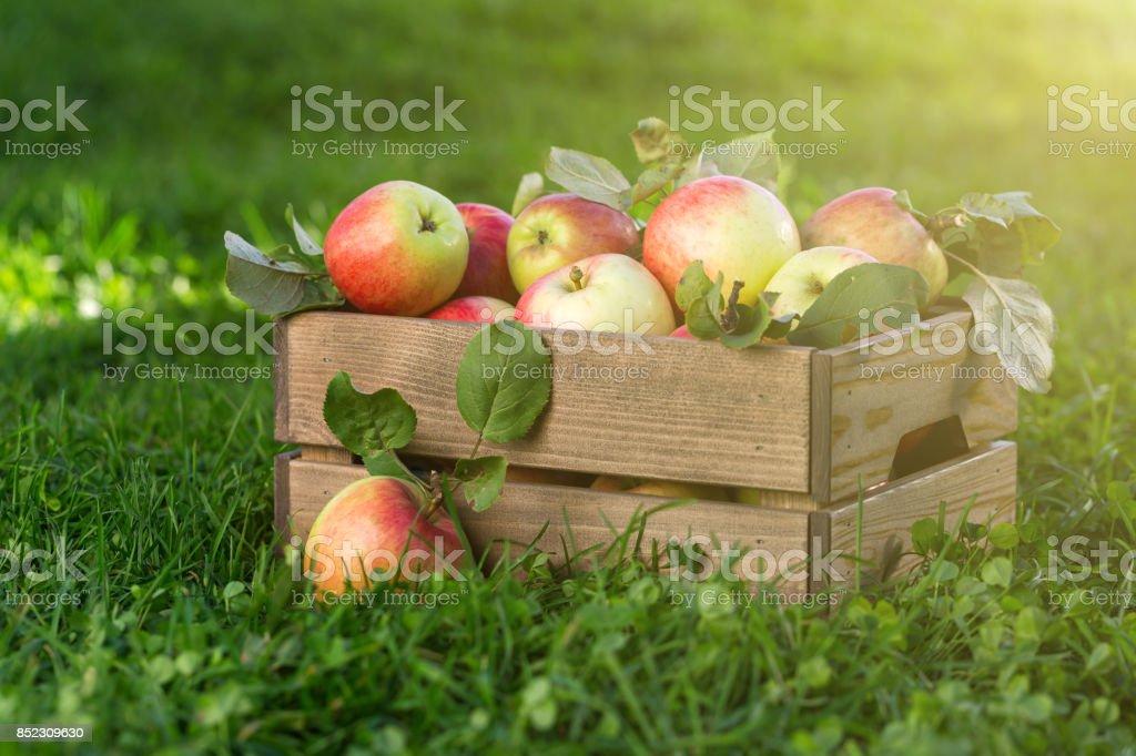 Äpfel in Holzkiste im Garten – Foto