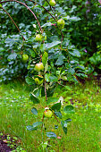 Apples on a branch close-up. Red and green apple in drops. Fruit tree in the garden. Agricultural crops and harvesting