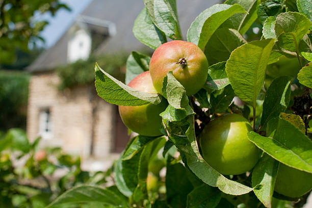 Apples on a branch in the sunshine branch full of wonderful apples, the kind that make the world famous Clavados Brandy from Northern France. calvados stock pictures, royalty-free photos & images