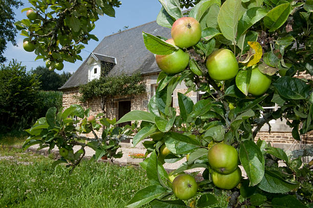 Apples on a branch in the sunshine Close up of Calvados apples in the French sun in Normandy. These are the apples harvested in Northern France that go to make the world famous Calvados Brandy . . . calvados stock pictures, royalty-free photos & images