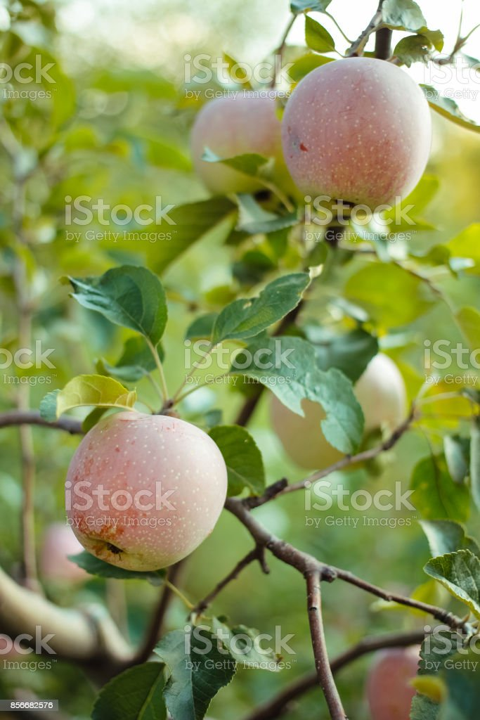 Apples on a branch of a tree stock photo