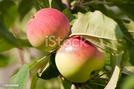 Ripe apples on a branch. Close-up view. Horizontal view