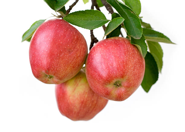 Apples on a branch stock photo