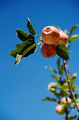 Three red apples on part of an apple tree branch with clear blue sky Paarl Boland South Africa