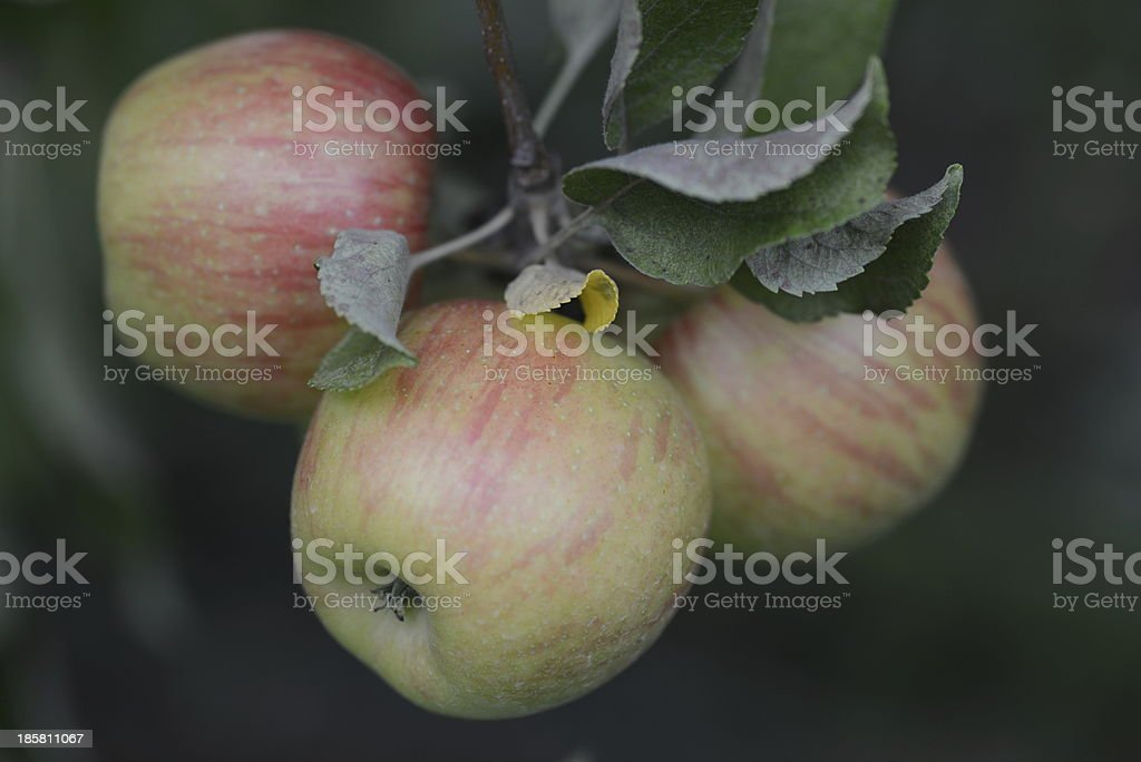 Apples on a Tree royalty-free stock photo