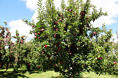 bunch of apples on an apple tree