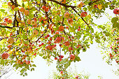 Apple Tree Foliage.Organic Fruits.Full Frame Camera And  L Glass Lens.Natural Colors.XXL Image