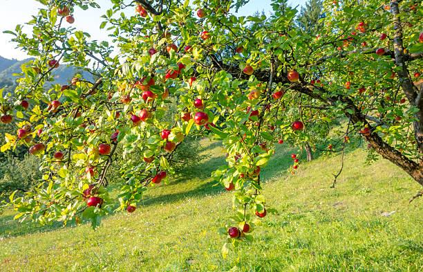 maçãs na filial - jardim do eden - fotografias e filmes do acervo