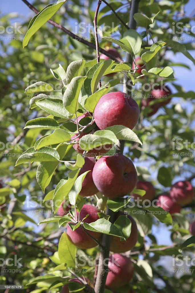 Apples on the Branch royalty-free stock photo