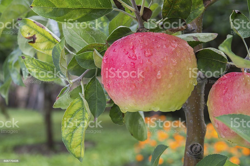 apples on the branch stock photo