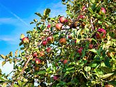 Apples on the tree in Schuylerville, Saratoga County, upstate New York, ready to be picked