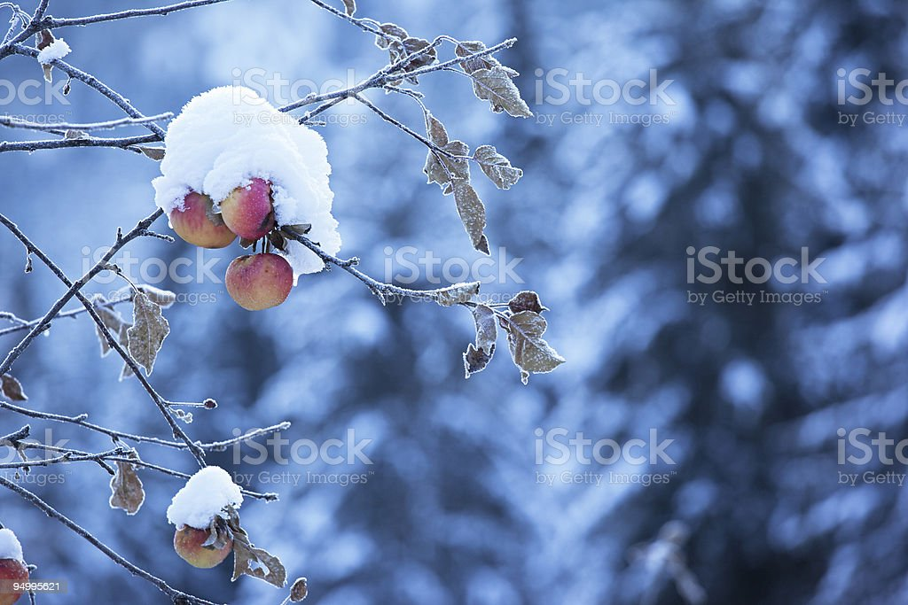 Apples on tree and first snow royalty-free stock photo