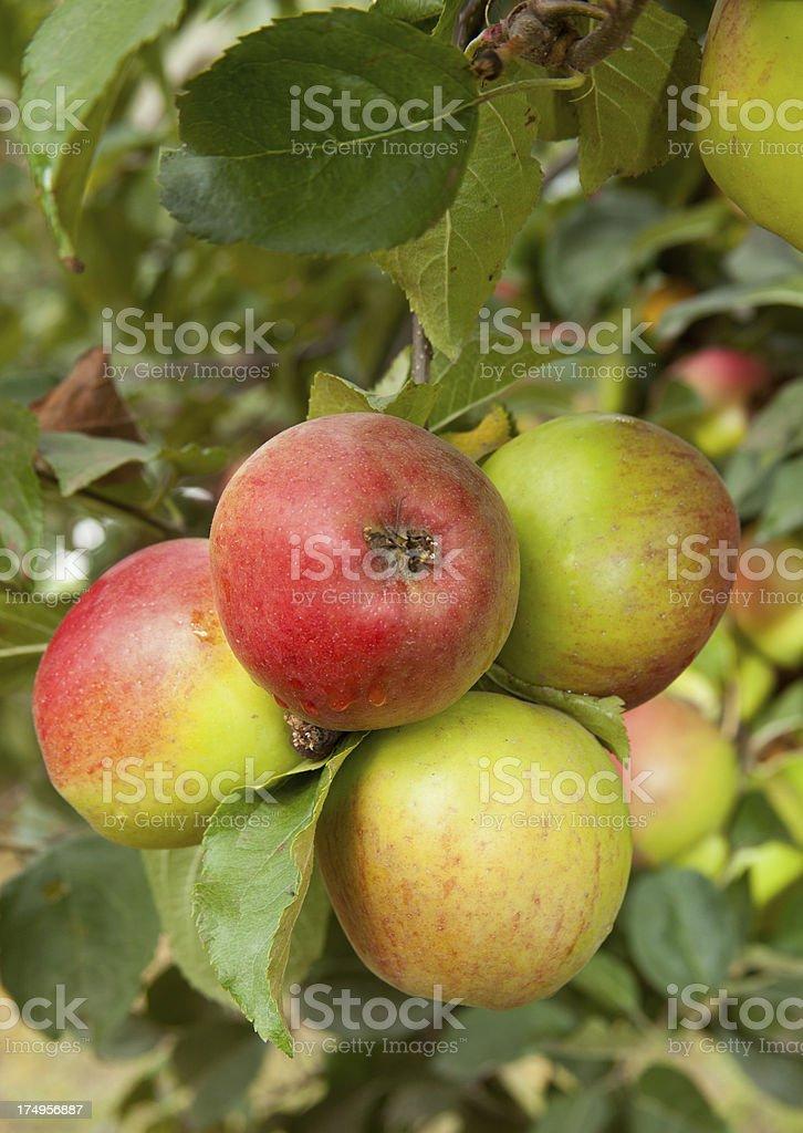 Apples on Tree stock photo