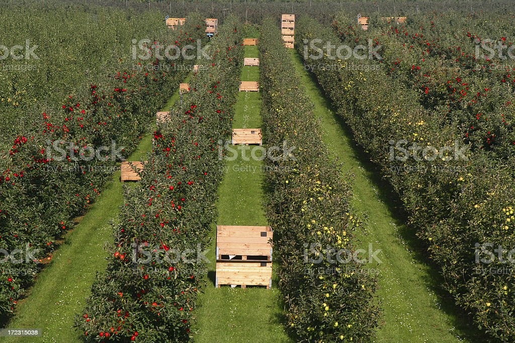 Apples - orchard # 13 royalty-free stock photo
