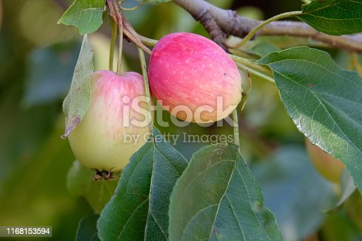 Apples growing in the orchard.