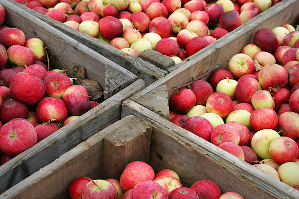 Apples  apple orchard stock pictures, royalty-free photos & images