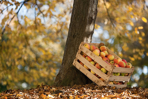 Apples Delicious apples in a wooden crate apple orchard stock pictures, royalty-free photos & images