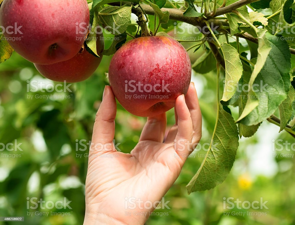 Apples - Royalty-free 2015 Stockfoto