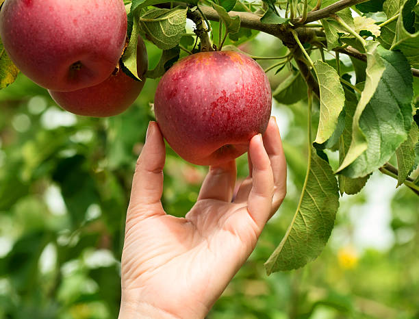 apples - picking stock photos and pictures