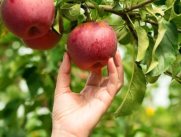 maçãs - picking fruit imagens e fotografias de stock
