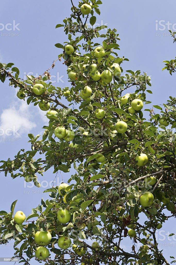 Яблоки Стоковые фото Стоковая фотография