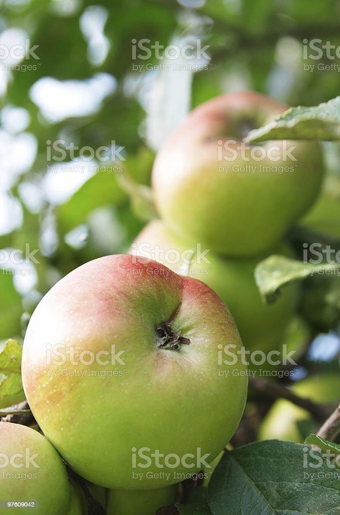 Apples royaltyfri bildbanksbilder