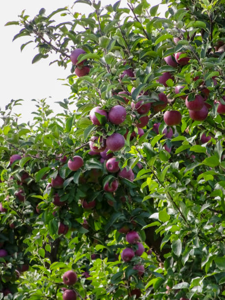 Apples ready to be picked in Marion New York stock photo