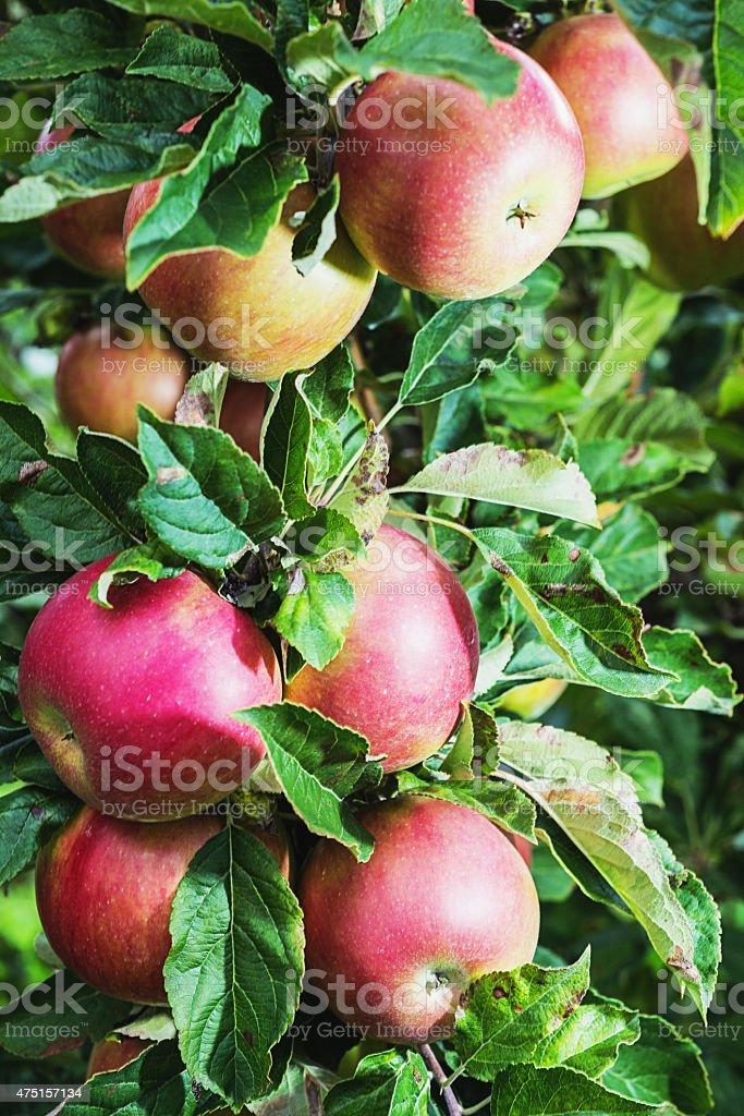 Apples Ripe for Harvest stock photo