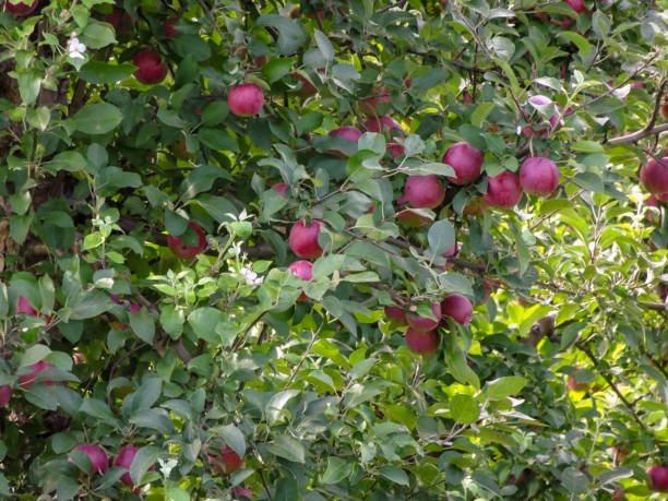 Apples ripe for the picking in Marion New York stock photo