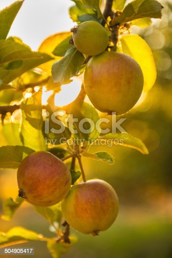 505840263istockphoto Apples Ripening in an Orchard on a Summer Evening 504905417