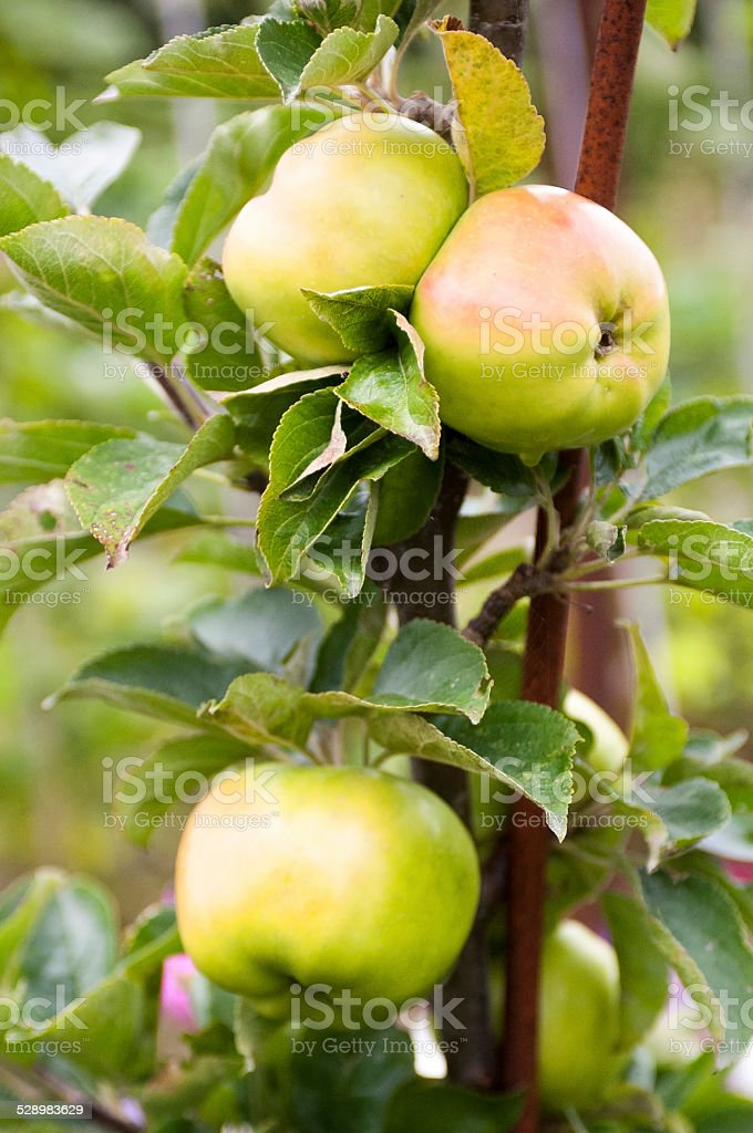 Apples Ripening in the Sun stock photo