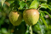Apples riping on apple tree with rain grops, close up, new harvest