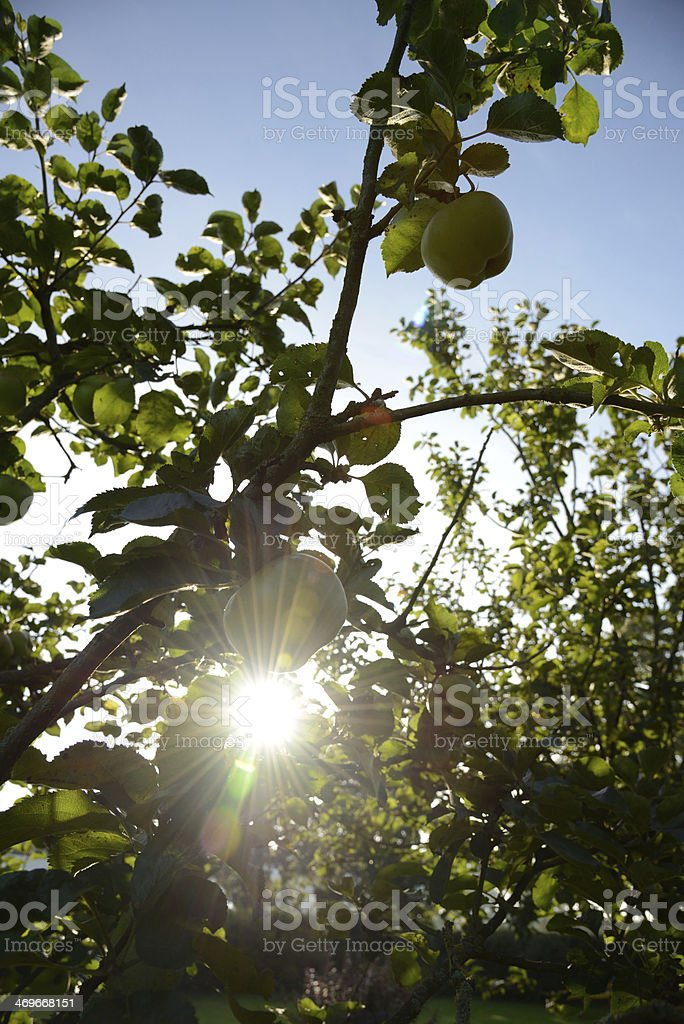 Apples shining in the morning sun royalty-free stock photo