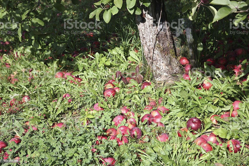 Apples Under the Tree royalty-free stock photo