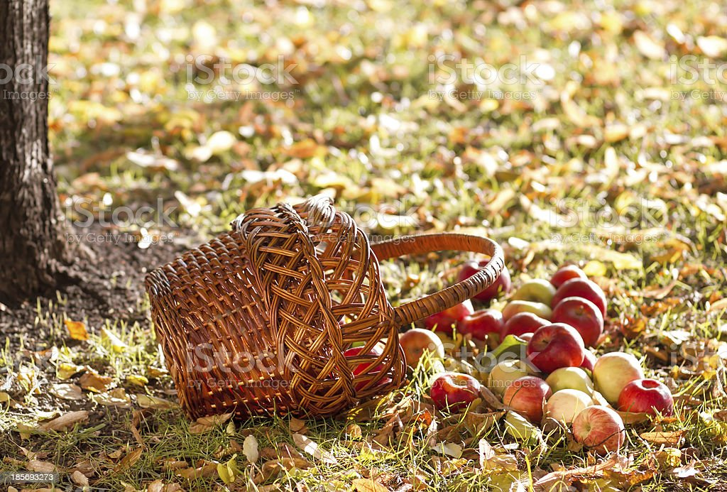 Apples with basket royalty-free stock photo