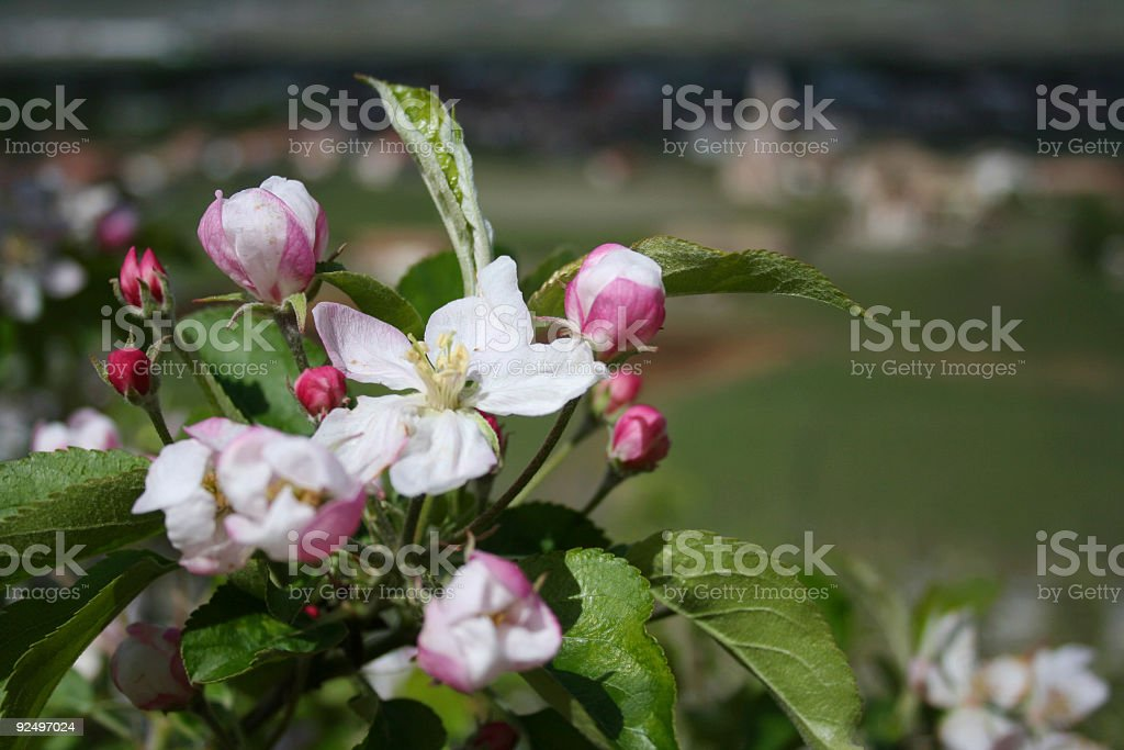 appletree blossoms royalty-free stock photo