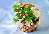 Gentle white-pink flowers of an apple-tree, buds and green leaves on an apple-tree branch in a wattled basket. Are presented on a gentle-blue background